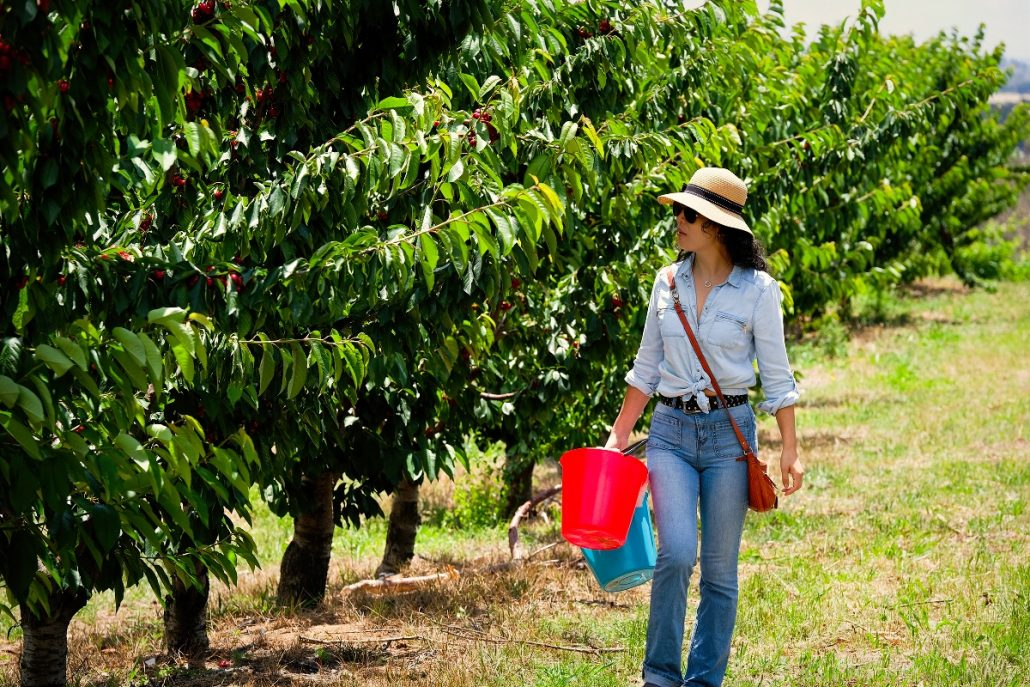 cherry picking young nsw